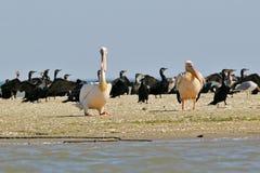 Två vita pelikan vilar på kusten Fotografering för Bildbyråer