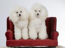 Två vita pudlar på en soffa royaltyfria foton