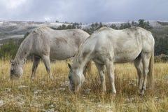 Två vita ranchhästar som in betar, betar, Wyoming Royaltyfri Fotografi