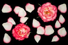 Två vita rosor med rosa list som omges av lösa kronblad arkivbilder