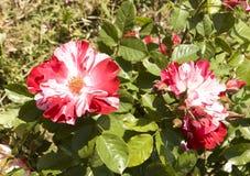 Två vita rosor som är röda och Arkivfoton