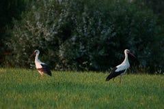 Två vita storkar på ett fält Arkivfoto