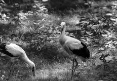Två vita storkar på gräset BW Fotografering för Bildbyråer
