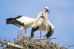Två vita storkar som vocalizing sig under para ihop säsong royaltyfri fotografi
