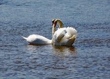 Två vita svanar att bli nästan på flodyxabreda flodmynningen i Devon royaltyfria foton
