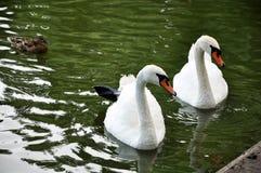 Två vita svanar i det gröna dammet arkivfoton