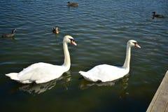 Två vita svanar i sjön med änder royaltyfri foto