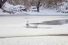 Två vita svanar på den djupfrysta sjön Vinter fryst sjö arkivbilder