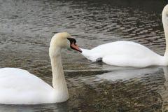 Två vita svanar på en liten sjö arkivbild