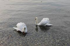 Två vita svanar på kusten arkivfoton