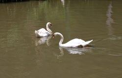 Två vita svanar simmar på dammet som tycker om naturen Royaltyfri Bild