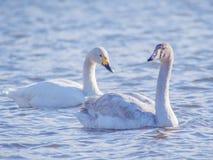 Två vita svanar som seglar på en sjö Royaltyfri Foto