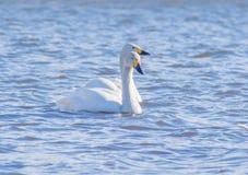 Två vita svanar som seglar på en sjö Fotografering för Bildbyråer