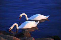 Två vita svanar som svävar på havet Royaltyfri Foto
