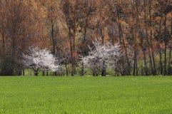 Två vita träd Arkivfoton