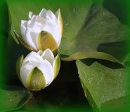 Två vita waterlilies Arkivfoto