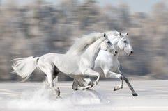 Två vithästar i vinterkörningsgalopp