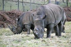 Två vitrhinos royaltyfria bilder