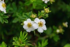 Två vitroshöfter blommar i den molniga dagen Arkivfoto