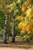 Två voljärer fästas till björkträd i härliga landskapet för höstskogen det mycket royaltyfria bilder
