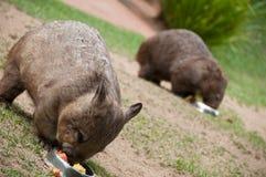 Två vombater som äter matställen Arkivbild