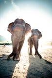 Två vuxna elefanter arkivfoto