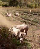 Två vuxna svin och många små spädgrisar royaltyfria foton