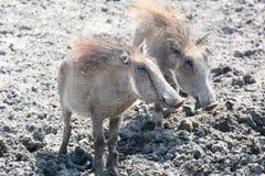Två warthogs Royaltyfri Foto