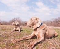 Två Weimaraner hundkapplöpning Royaltyfri Foto