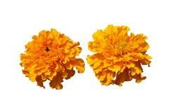 Två & x27; Afrikan Marigold& x27; björnar satte en klocka på apelsinblommor som isoleras på whi Arkivfoto
