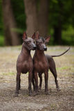 Två xoloitzcuintlihundkapplöpning Royaltyfria Foton