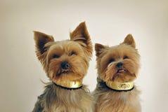 Två Yorkshire hundkapplöpning Fotografering för Bildbyråer