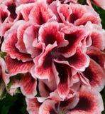 Tvåfärgad blomma royaltyfria foton