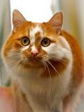 Tvåfärgad röd och vit prickig katt Royaltyfri Foto