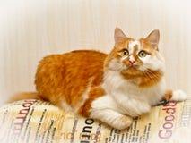 Tvåfärgad röd och vit prickig katt Royaltyfri Fotografi