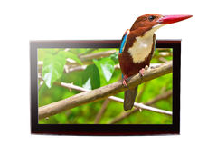 TV with 3D bird on display. 3D TV with white-throated Kingfisher bird on the display Royalty Free Stock Photo