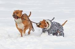 Två amerikanska staffordshire terrierhundkapplöpning som gör förälskelseleken på en sno Arkivbilder