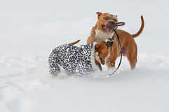 Två amerikanska staffordshire terrierhundkapplöpning som spelar förälskelseleken på ett s Fotografering för Bildbyråer