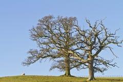 Två avlövade vintertrees mot en blåttsky Arkivbild