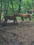 Tv? Bengal tigrar som tillsammans spelar under ett litet tr?d i skogen arkivfoton