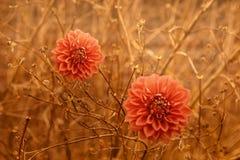 Två blommor för apelsinDahliahöst över brunt förgrena sig bakgrund Arkivbilder
