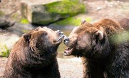 Två bruna grisslybjörnar spelar runt om norden - amerikanskt djurt djurliv Royaltyfria Bilder