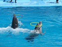 Två delfin kommer framåtriktat i vatten med cirklar Arkivbild