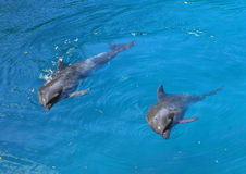 Två delfiner Royaltyfri Bild