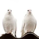 Två duvor Arkivbilder