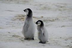 Två fågelungar för kejsarepingvin Fotografering för Bildbyråer