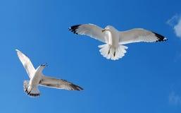 Två fiskmåsar som flyger och slåss Royaltyfri Fotografi