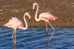 Tv? flamingov?nner i lagun royaltyfria foton