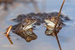 Två gemensamma grodor med grodägg Royaltyfri Foto