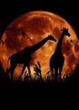 Två giraff med den stora månen Arkivfoton